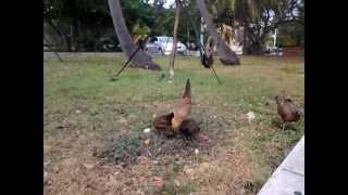 Wild Chickens Of Key West