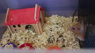 Уборка в клетке у песчанок и хомяка