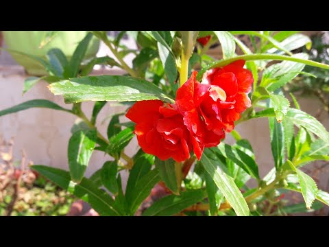 Best Flowering Plant - Balsam Care || How to Grow and Care Balsam Plant
