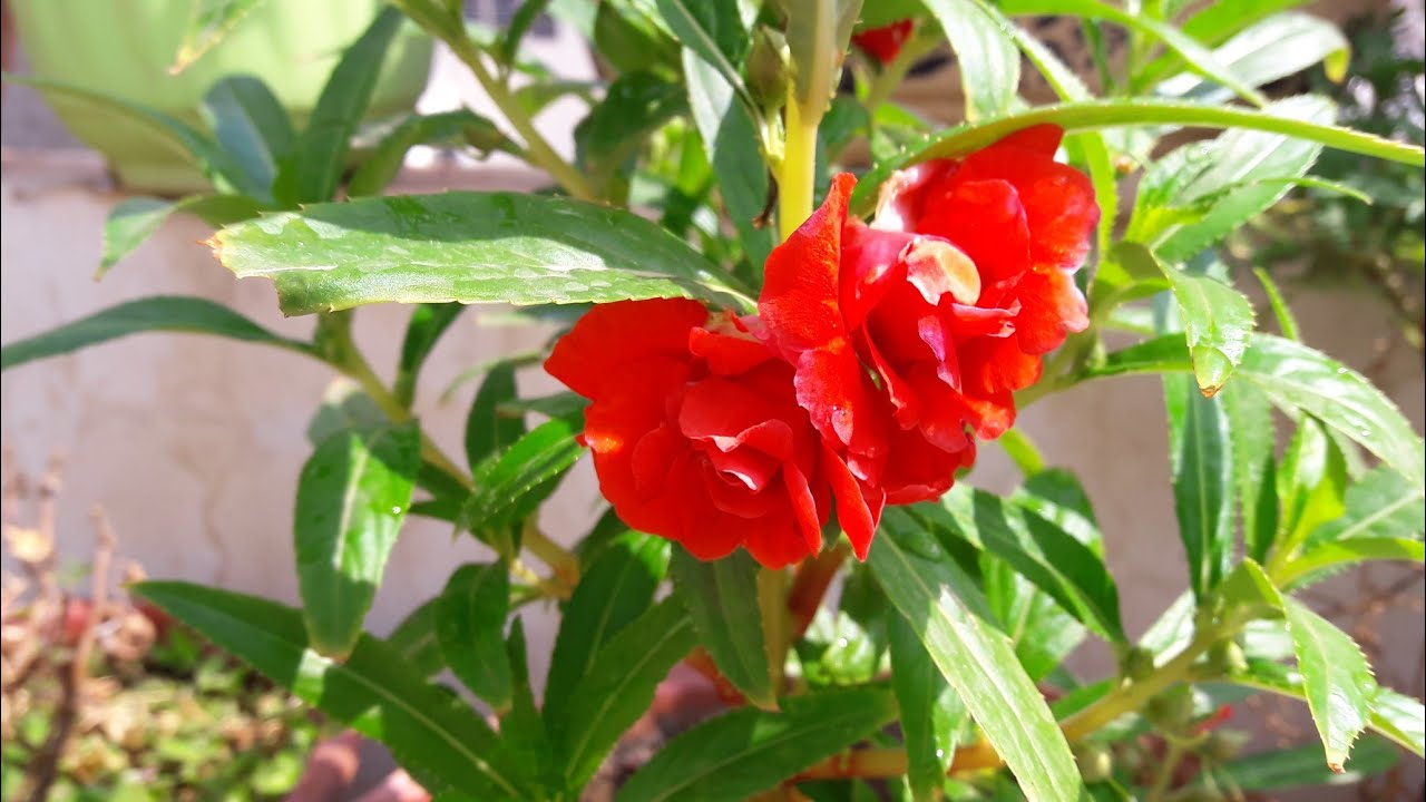 Balsam description and growing tips