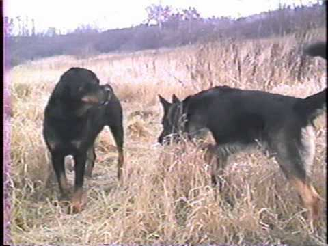 Dominant Behavior of German Shepherd and Rottweiler
