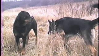 Dominant Behavior of German Shepherd and Rottweiler