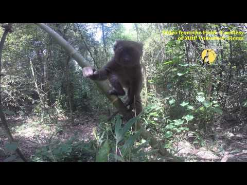 Greater Bamboo Lemur wants a GoPro