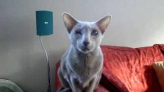 TALKING ORIENTAL CAT