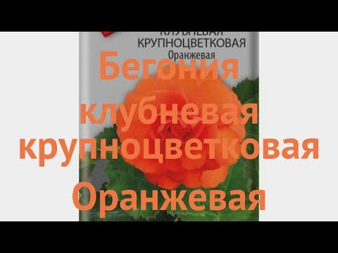Бегония клубневой Крупноцветковая Оранжевая 🌿 обзор: как сажать, семена бегонии