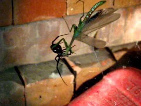 Mantis Vs Black Widow Spider Monster Bug War Awesome