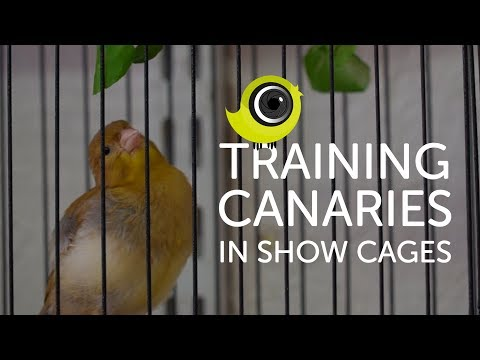 Training Canaries in Show Cages   The Canary Room Top Tips