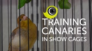 Training Canaries in Show Cages | The Canary Room Top Tips