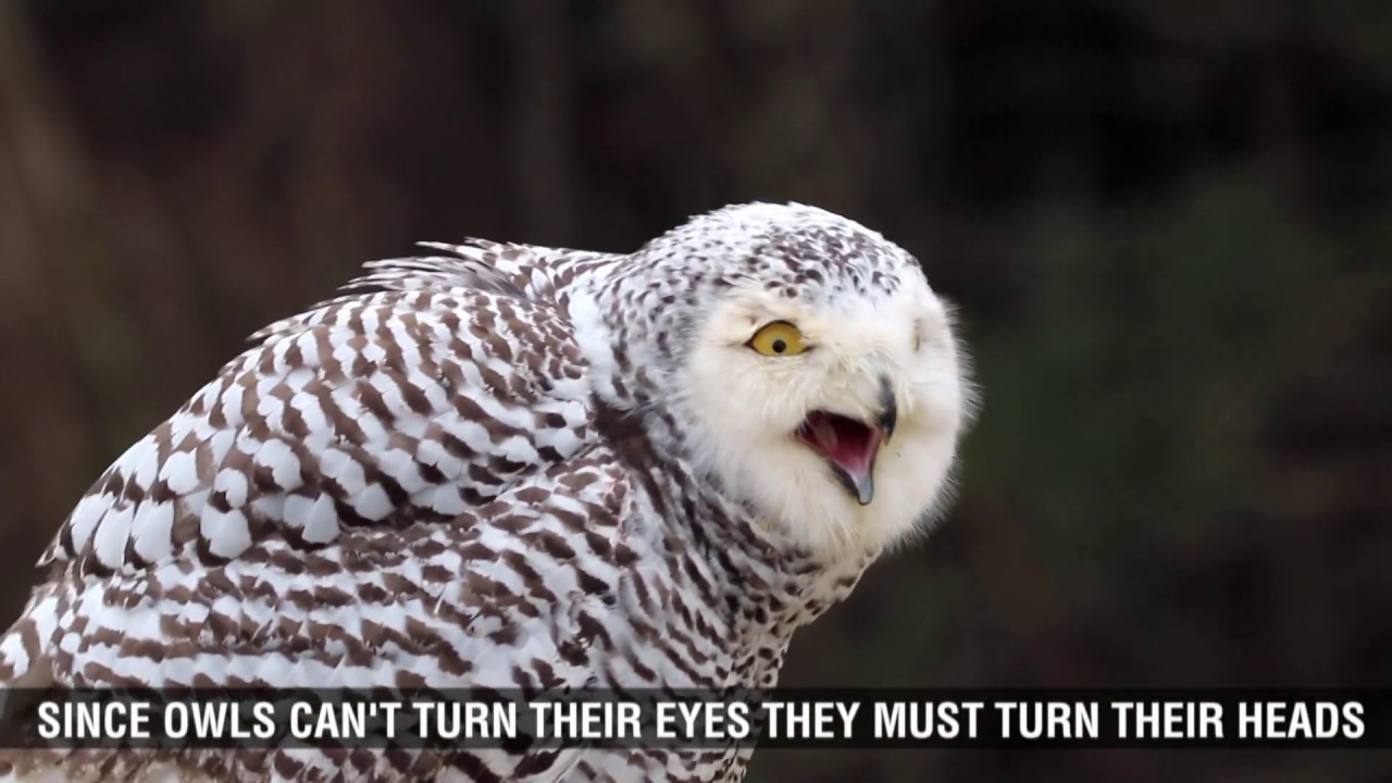 Snowy Owl Fun Facts for Kids - YouTube