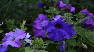видео Кустарник-многолетник для вашего сада или огорода: название, период цветения, делаем выбор для дачи летом