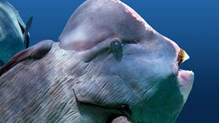 Humphead parrotfish are known for their teeth | Oceana