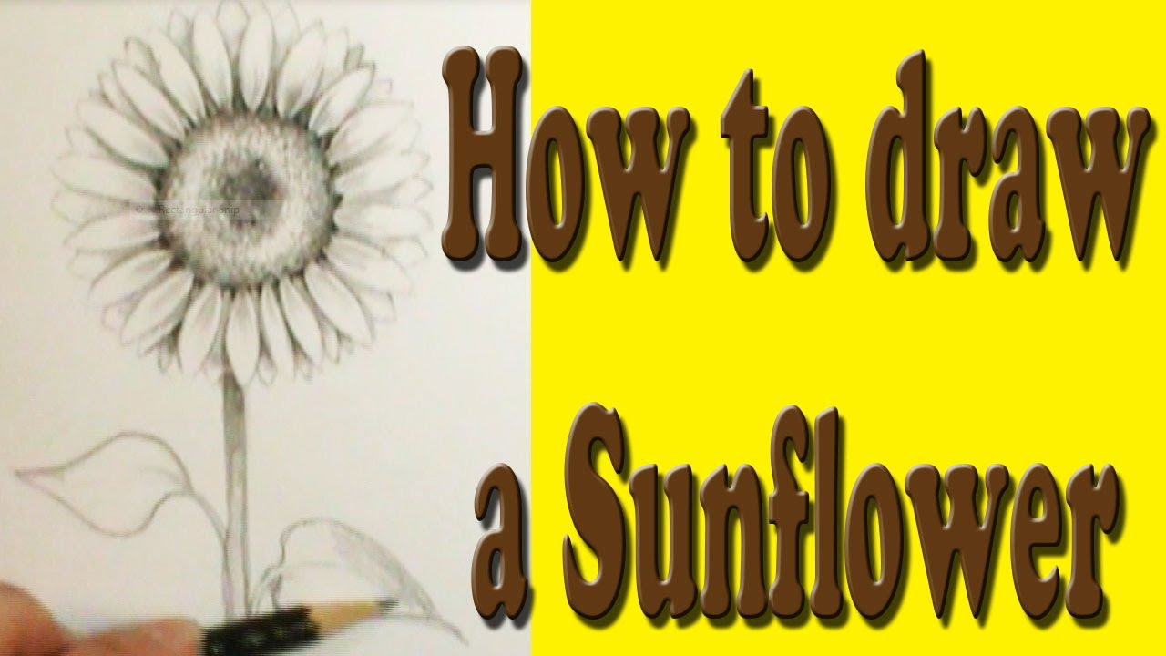 cb448d588d4 How to draw a Sunflower - YouTube