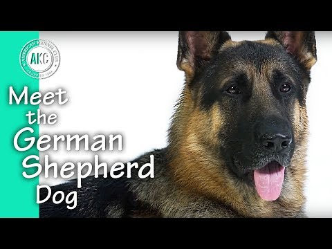 Meet The German Shepherd Dog