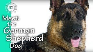 Meet The German Shepherd Dog