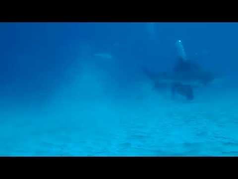 Bull Sarks / Bika cápák Playa del Carmen Mexico