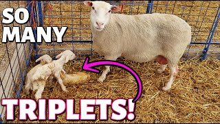My sheep keep having TRIPLETS!! (DAY 10):  Vlog 272