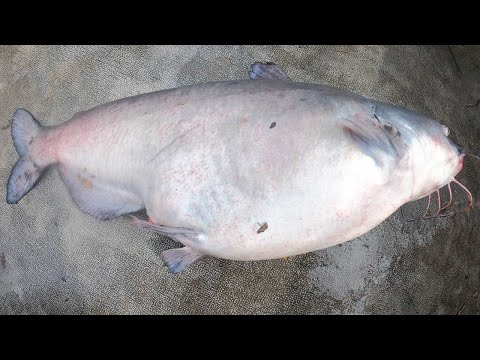 The Fattest Catfish Ever!!! - Winter Catfishing Blues And Flatheads