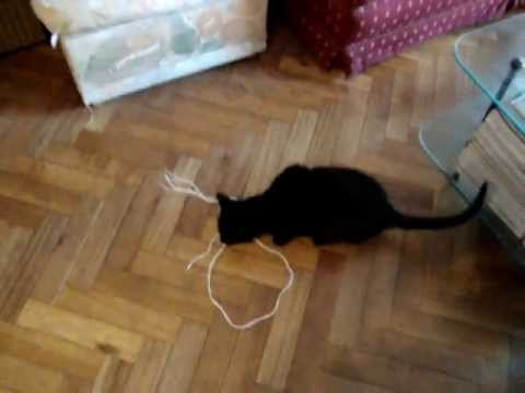 Playful Bombay Cat