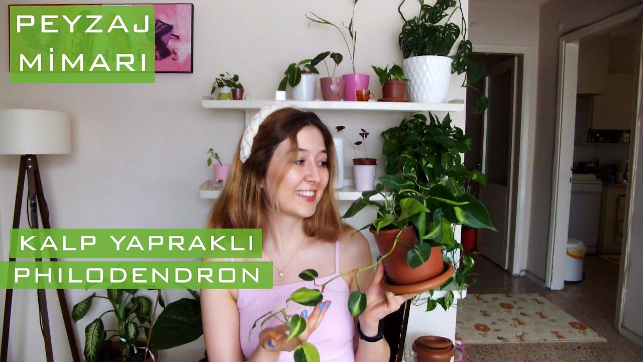 Kalp yapraklı sarmaşık/devetabanı (Philodendron)   Bakım, çoğaltma, zararlılar