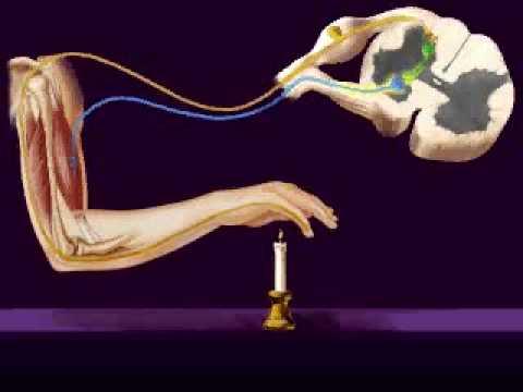 Central Nervous System, Reflex Arc