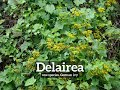 How Does Delairea Look? | How to Say Delairea in English? | What is Delairea?