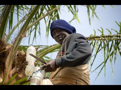 Palm wine tapping in the Casamance, Senegal