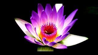 water lilies wallpaper screenshot 4