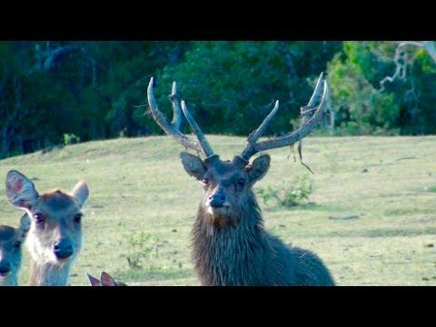 Hunting Rusa deer in New Caledonia part 53