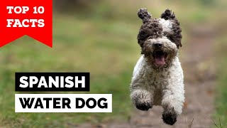 Spanish Water Dog   Top 10 Facts