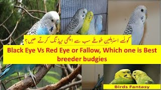 Black Eye Budgies vs Red Eye Budgies and Fallow budgies which one is best breeder
