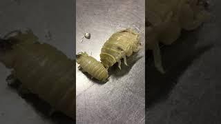 魚の口の中に生息する虫、ウオノエ、タイノエです。