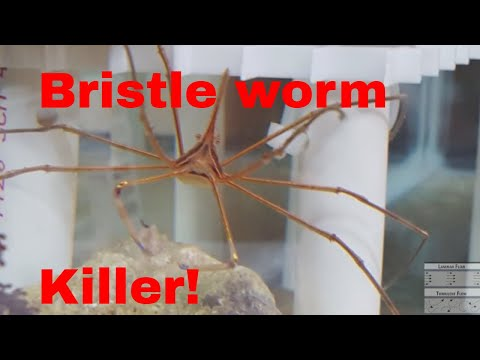 Arrow Crab Eating Bristle Worms