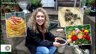 How to plant Ranunculus (bulbs/corms) - FarmerGracy.co.uk