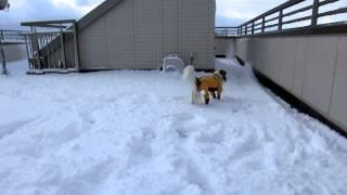 愛犬テラ(コイケル)雪の屋上ドッグランを興奮して走る、走る(笑)。犬は...