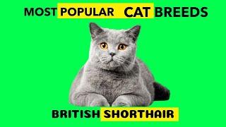 BRITISH SHORTHAIR MOST POPULAR CAT BREED
