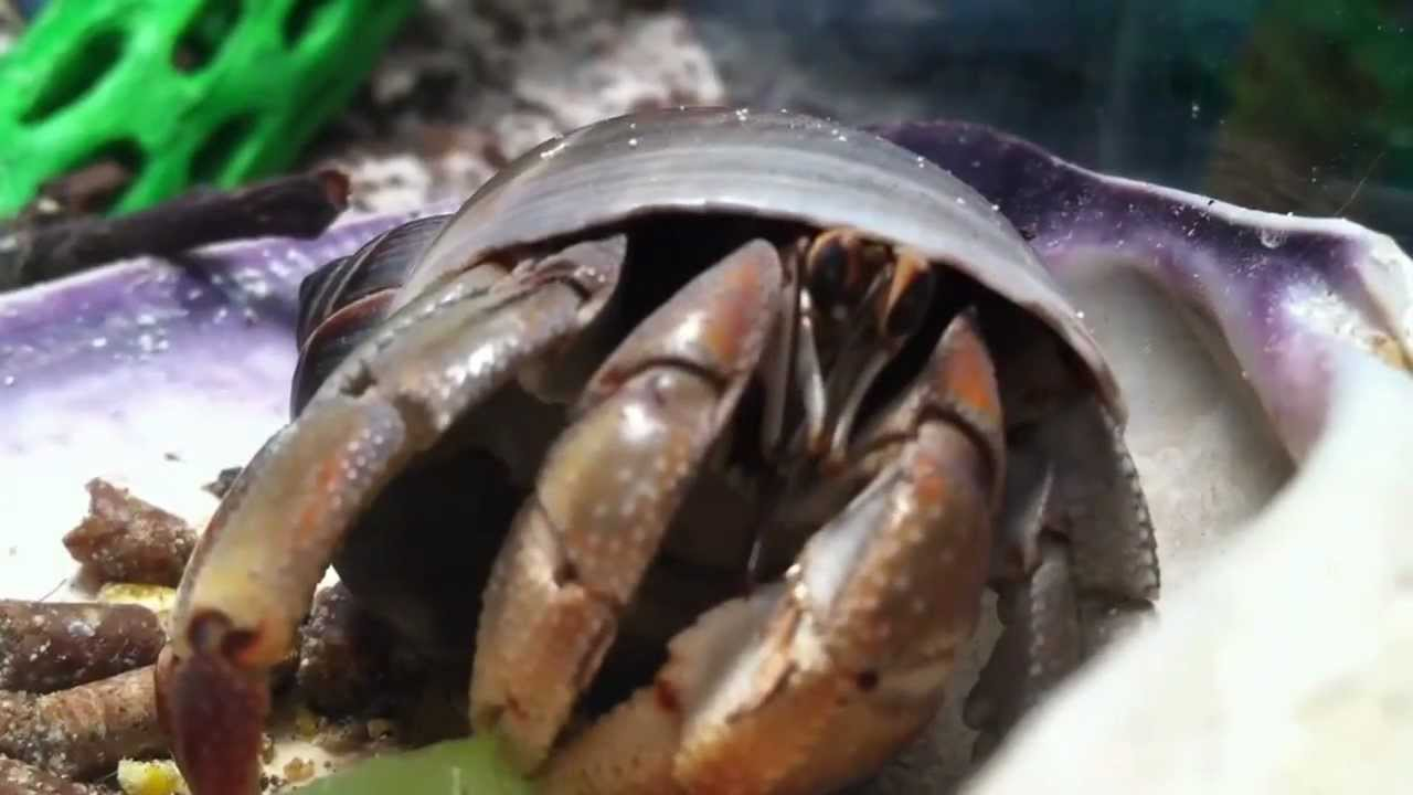 Eating Hermit Crab | Hermit Crab Eating A Grape Youtube