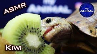 Tortoise Eating Kiwi Frขit ASMR Turtle 🐢30