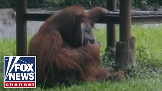 Orangutan smokes cigarette at Indonesia zoo