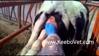 Veterinarian Doctor Helps A Bovine Delivering Calf Partus In Farm Conditions