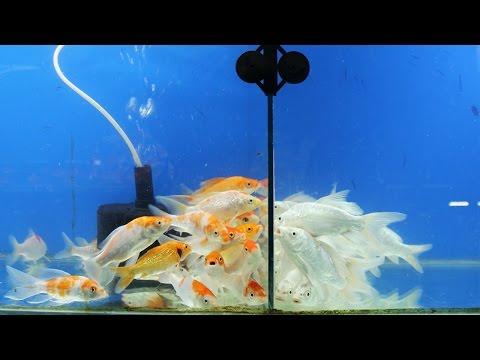 koi fish fight through glass