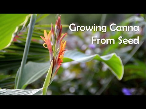 Growing Canna From Seed & Collecting Seed