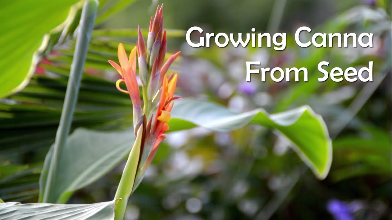 Growing Canna From Seed Collecting
