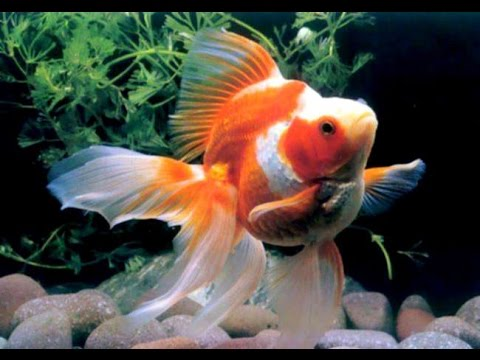 Everything About Ryukin Goldfish