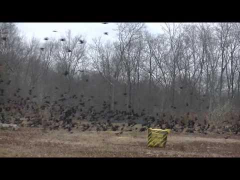 Incredible Nature - Huge Flock of Starlings