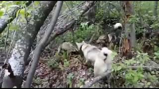 Когда открытие охоты на барсука