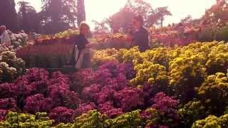 Никитский сад,Выставка хризантем.