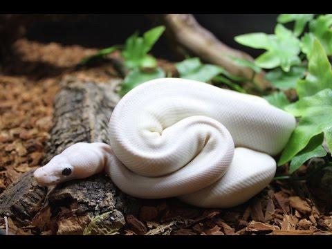 BEAUTIFUL WHITE PYTHON
