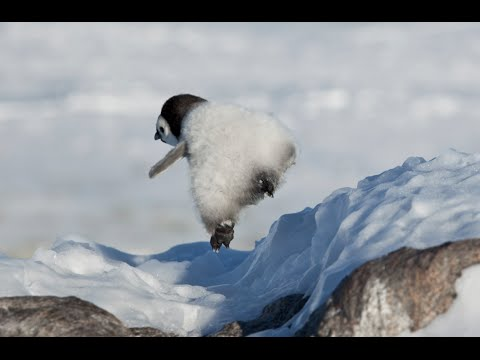 PENGUIN FAIL 2 - Snow Chick & Friends Falling Over