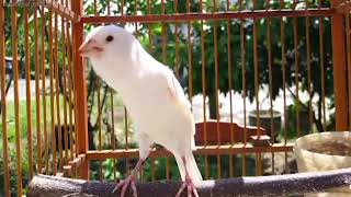 Video 5 Burung Kecil Bersuara Emas download MP3, 3GP, MP4, WEBM, AVI, FLV November 2018