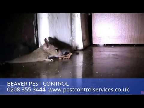 Beaver Pest Control London: Mouse Control London: Mice Pest Control London